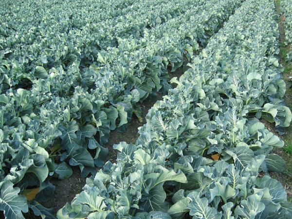 ブロッコリー作りは田んぼの環境を整えてやることが大事
